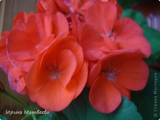 Цветы являются для меня важной частью жизни и творчества, а также интерьера. В квартире круглогодично живет множество цветов. Однако я хотела бы рассказать о герани (по научному - пеларгонии). Многие настороженно относятся к пеларгонии, поскольку считают, что она неприятно пахнет. Действительно, у ее листвы специфичный запах ,который может и не нравиться человеку. Однако, многим ее запах, обладающий полезными бактерицидными свойствами, нравится или по крайней мере, не вызывает раздражения. Главное знать, что у человека нет аллергии на этот запах или на цветы, нее ставить много гераней в детскую комнату. Что касается меня, мне повезло. Запах герани не тревожит ни меня, ни моих домочадцев. Мои цветы нравятся всей семье.   Герань начинает цвести в феврале - марте. За окном снег, а на окне горят цветы. Ждут, когда температура позволит перебраться им на лоджию.Она у меня  не утепленная, поэтому цветы там могут жить с апреля по  ноябрь.  фото 12