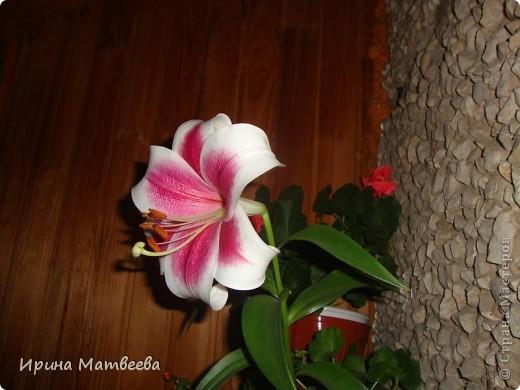 Цветы являются для меня важной частью жизни и творчества, а также интерьера. В квартире круглогодично живет множество цветов. Однако я хотела бы рассказать о герани (по научному - пеларгонии). Многие настороженно относятся к пеларгонии, поскольку считают, что она неприятно пахнет. Действительно, у ее листвы специфичный запах ,который может и не нравиться человеку. Однако, многим ее запах, обладающий полезными бактерицидными свойствами, нравится или по крайней мере, не вызывает раздражения. Главное знать, что у человека нет аллергии на этот запах или на цветы, нее ставить много гераней в детскую комнату. Что касается меня, мне повезло. Запах герани не тревожит ни меня, ни моих домочадцев. Мои цветы нравятся всей семье.   Герань начинает цвести в феврале - марте. За окном снег, а на окне горят цветы. Ждут, когда температура позволит перебраться им на лоджию.Она у меня  не утепленная, поэтому цветы там могут жить с апреля по  ноябрь.  фото 18