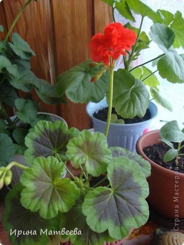 Цветы являются для меня важной частью жизни и творчества, а также интерьера. В квартире круглогодично живет множество цветов. Однако я хотела бы рассказать о герани (по научному - пеларгонии). Многие настороженно относятся к пеларгонии, поскольку считают, что она неприятно пахнет. Действительно, у ее листвы специфичный запах ,который может и не нравиться человеку. Однако, многим ее запах, обладающий полезными бактерицидными свойствами, нравится или по крайней мере, не вызывает раздражения. Главное знать, что у человека нет аллергии на этот запах или на цветы, нее ставить много гераней в детскую комнату. Что касается меня, мне повезло. Запах герани не тревожит ни меня, ни моих домочадцев. Мои цветы нравятся всей семье.   Герань начинает цвести в феврале - марте. За окном снег, а на окне горят цветы. Ждут, когда температура позволит перебраться им на лоджию.Она у меня  не утепленная, поэтому цветы там могут жить с апреля по  ноябрь.  фото 14