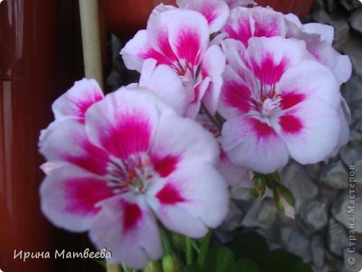 Цветы являются для меня важной частью жизни и творчества, а также интерьера. В квартире круглогодично живет множество цветов. Однако я хотела бы рассказать о герани (по научному - пеларгонии). Многие настороженно относятся к пеларгонии, поскольку считают, что она неприятно пахнет. Действительно, у ее листвы специфичный запах ,который может и не нравиться человеку. Однако, многим ее запах, обладающий полезными бактерицидными свойствами, нравится или по крайней мере, не вызывает раздражения. Главное знать, что у человека нет аллергии на этот запах или на цветы, нее ставить много гераней в детскую комнату. Что касается меня, мне повезло. Запах герани не тревожит ни меня, ни моих домочадцев. Мои цветы нравятся всей семье.   Герань начинает цвести в феврале - марте. За окном снег, а на окне горят цветы. Ждут, когда температура позволит перебраться им на лоджию.Она у меня  не утепленная, поэтому цветы там могут жить с апреля по  ноябрь.  фото 5