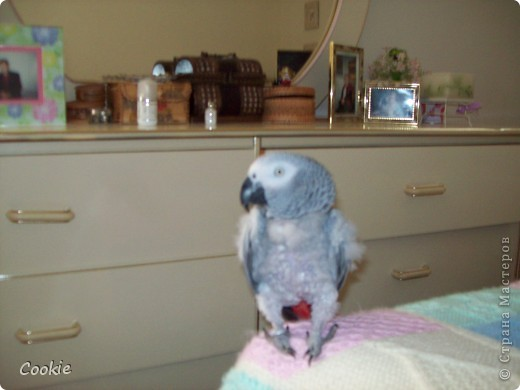 Наш попугай / Африканский серый/ фото 2