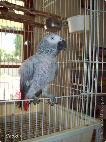 Наш попугай / Африканский серый/ фото 1
