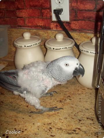 Наш попугай / Африканский серый/ фото 3