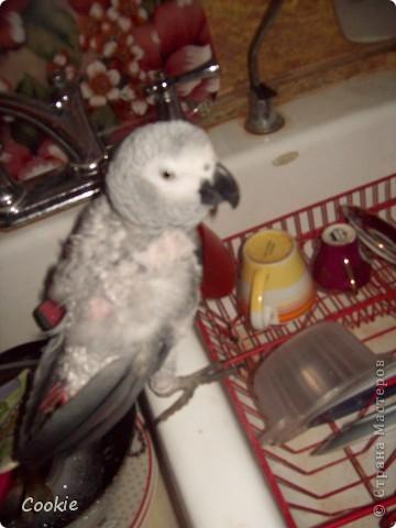 Наш попугай / Африканский серый/ фото 4