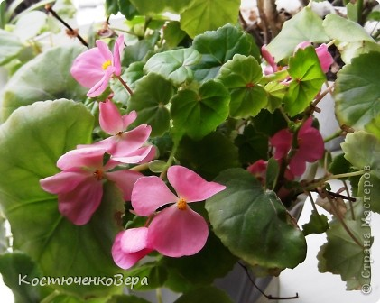 На мамином окне буйствует глоксининия. Это любимые цветы моей мамы. День солнечный, поэтому окно мама прикрывает газетой. У нас мало места для цветов, но некоторые надолго задерживаются. Сколько себя помню, эти цветы были всегда, сорта, правда менялись фото 10