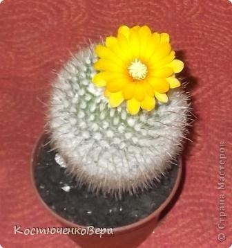 На мамином окне буйствует глоксининия. Это любимые цветы моей мамы. День солнечный, поэтому окно мама прикрывает газетой. У нас мало места для цветов, но некоторые надолго задерживаются. Сколько себя помню, эти цветы были всегда, сорта, правда менялись фото 4