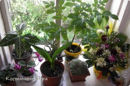 На мамином окне буйствует глоксининия. Это любимые цветы моей мамы. День солнечный, поэтому окно мама прикрывает газетой. У нас мало места для цветов, но некоторые надолго задерживаются. Сколько себя помню, эти цветы были всегда, сорта, правда менялись фото 2