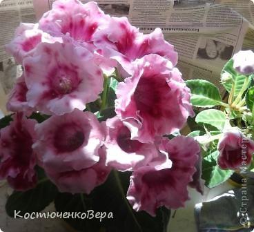 На мамином окне буйствует глоксининия. Это любимые цветы моей мамы. День солнечный, поэтому окно мама прикрывает газетой. У нас мало места для цветов, но некоторые надолго задерживаются. Сколько себя помню, эти цветы были всегда, сорта, правда менялись фото 1