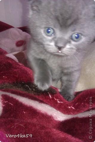Серая британка Соня, ее котята и нянька Дуся. фото 4