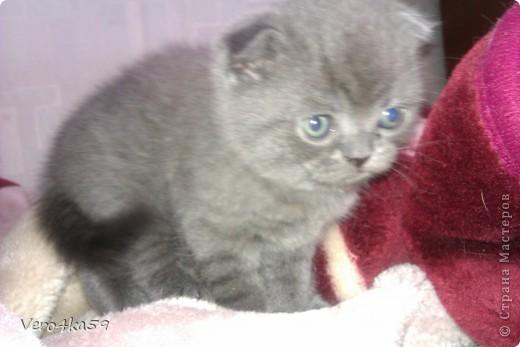 Серая британка Соня, ее котята и нянька Дуся. фото 6