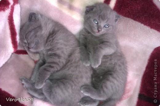Серая британка Соня, ее котята и нянька Дуся. фото 2