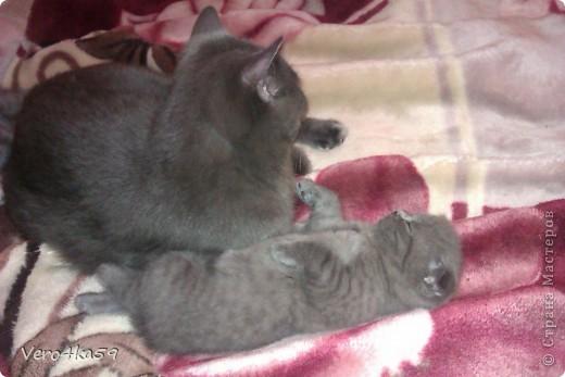Серая британка Соня, ее котята и нянька Дуся. фото 11
