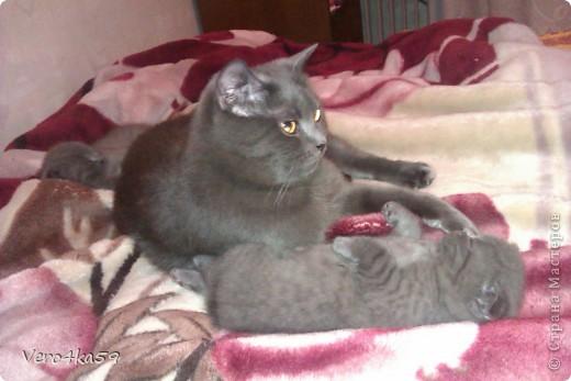 Серая британка Соня, ее котята и нянька Дуся. фото 12