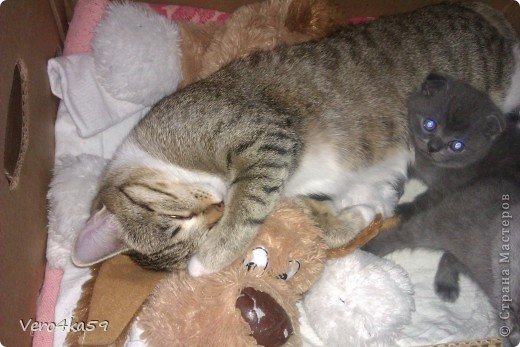 Серая британка Соня, ее котята и нянька Дуся. фото 13