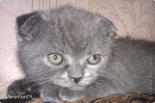 Серая британка Соня, ее котята и нянька Дуся. фото 14
