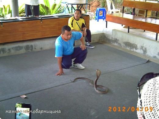 На змеинной ферме. Заклинатель и королевская кобра. фото 1