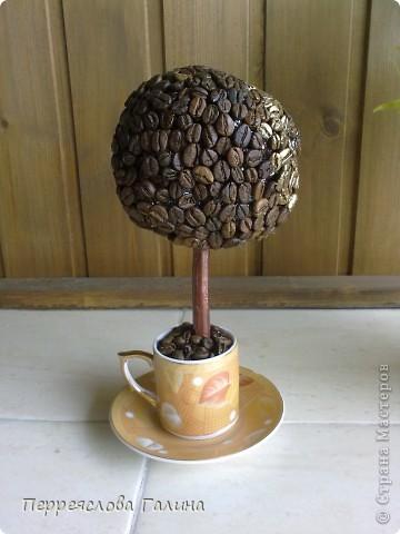 Кофейное дерево (проба) фото 2