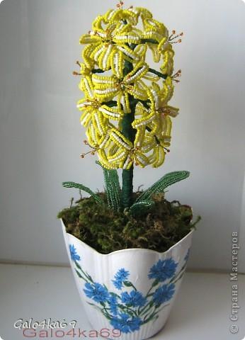 Желтый гиацинт состоит из 17 цветков фото 1