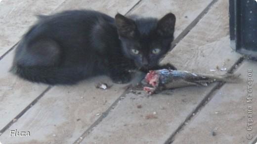 Хочу рассказать Вам   про наших кошек.  История первая про кошку МАШКУ.      На производственной базе  в 2009 году нас атаковали мыши, т.к. с лева РайПО с права макаронный цех. Срочно завели котят сразу трех штук: белый, серый и черный. Один попал под машину, другой пропал,  остался один как вы думаете какой? Конечно черный и оказалась девочкой- назвали МАШКОЙ.      Когда она стала невестой к ней в женихи пришел кот весь в черном с белым галстуком и и белой кляксой на носу. Сколько уж ему было лет не понятно, но большой и как оказалось очень умный. Мы его оставили жить вместе с Машкой и назвали Васькой. Он быстро освоился привык к своему имени и стал заботливым, любящим мужем. Какая это бала любовь…Он так любил Машку, постоянно, целовал, ласкался, а Машка только подставляла, то мордочку, то лобик или залазила на него спать. На пару таскали то мышей,  то крыс, больше Машка старалась. Смотрим Машка орет и тащит огромную крысу, таким образом она постоянно сообщает, что несет гостинец.. Весной, Васька очень долго ухаживал за ней, долго уговаривал, гонял ее по всей базе. Но та никак не уступала, кое как через неделю или две зажал все же на крыше. Мы, стали ждать прибавления. Как то приблудилась кошка с котенком такая разноцветная, пушистая и котенок такой же. Я думаю зачем столько кошек? Ну и говорю Ваське: «Гони давай ее отсюда», он посмотрел на меня умным взглядом и пошел на нее  со злобным видом, та ушла оставив нам котенка. Васька не стал кошечку трогать (бабник), но она все равно куда-то пропала.      Через некоторое время родились 3 котенка все черные как мама с папой. Машка как хорошая мать кормила, таскала мышей, крыс, а Васька вообще обленился стал поджидать когда Машка с добычей придет. Бедная Машка исхудала- это ж надо четверых кормить, а еще эти как пиявки никак не перестают сосать.   фото 2