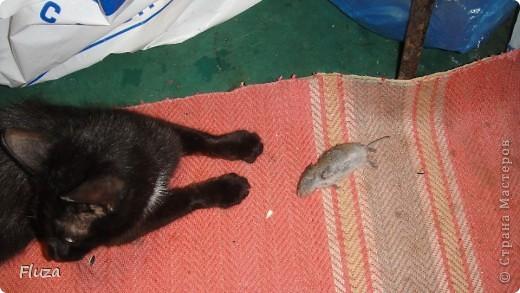 Хочу рассказать Вам   про наших кошек.  История первая про кошку МАШКУ.      На производственной базе  в 2009 году нас атаковали мыши, т.к. с лева РайПО с права макаронный цех. Срочно завели котят сразу трех штук: белый, серый и черный. Один попал под машину, другой пропал,  остался один как вы думаете какой? Конечно черный и оказалась девочкой- назвали МАШКОЙ.      Когда она стала невестой к ней в женихи пришел кот весь в черном с белым галстуком и и белой кляксой на носу. Сколько уж ему было лет не понятно, но большой и как оказалось очень умный. Мы его оставили жить вместе с Машкой и назвали Васькой. Он быстро освоился привык к своему имени и стал заботливым, любящим мужем. Какая это бала любовь…Он так любил Машку, постоянно, целовал, ласкался, а Машка только подставляла, то мордочку, то лобик или залазила на него спать. На пару таскали то мышей,  то крыс, больше Машка старалась. Смотрим Машка орет и тащит огромную крысу, таким образом она постоянно сообщает, что несет гостинец.. Весной, Васька очень долго ухаживал за ней, долго уговаривал, гонял ее по всей базе. Но та никак не уступала, кое как через неделю или две зажал все же на крыше. Мы, стали ждать прибавления. Как то приблудилась кошка с котенком такая разноцветная, пушистая и котенок такой же. Я думаю зачем столько кошек? Ну и говорю Ваське: «Гони давай ее отсюда», он посмотрел на меня умным взглядом и пошел на нее  со злобным видом, та ушла оставив нам котенка. Васька не стал кошечку трогать (бабник), но она все равно куда-то пропала.      Через некоторое время родились 3 котенка все черные как мама с папой. Машка как хорошая мать кормила, таскала мышей, крыс, а Васька вообще обленился стал поджидать когда Машка с добычей придет. Бедная Машка исхудала- это ж надо четверых кормить, а еще эти как пиявки никак не перестают сосать.   фото 3