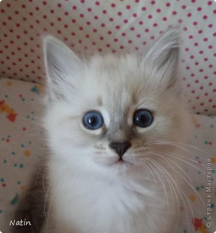 Так хочется маленьких невских котят, Что к мамочке жмутся и сладко сопят... И чмокая дружно, сосут молочко, И лапки расставив, урчат под бочком… фото 13
