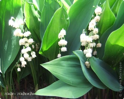 Фото  с прогулки...весна, солнышко,море цветов, птицы поют- романтическое время года... фото 12