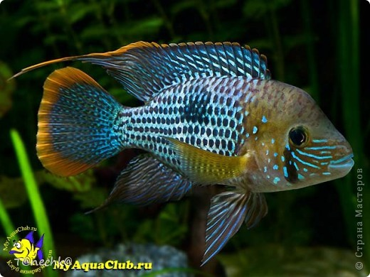 Знакомьтесь, Акара бирюзовая, в моем исполнении. Делала в подарок для одного любителя аквариумных рыбок. Надеюсь подарок понравится!  фото 6