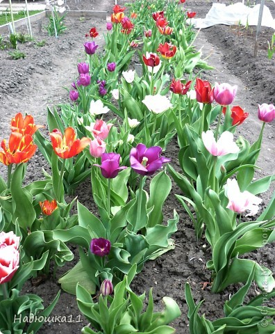 Моими любимыми цветами являются тюльпаны. До сих пор мой муж удивляется, почему мой выбор пал именно на них, мол обычные садовые цветы. Но посмотрите, Какие они шикарные! фото 7