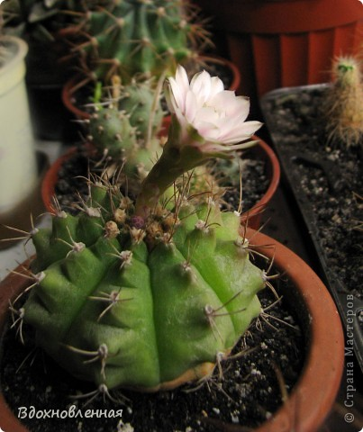 Это мой гимнокалициум)) Каждый год радует своими цветочками)))) И цветет все лето! фото 6