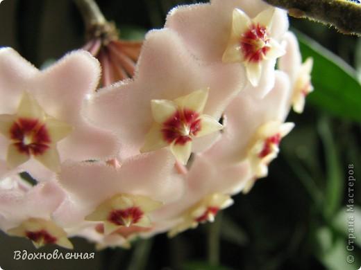 Это мой гимнокалициум)) Каждый год радует своими цветочками)))) И цветет все лето! фото 10