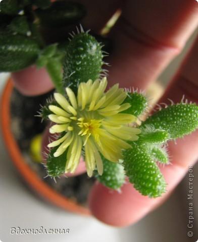 Это мой гимнокалициум)) Каждый год радует своими цветочками)))) И цветет все лето! фото 8