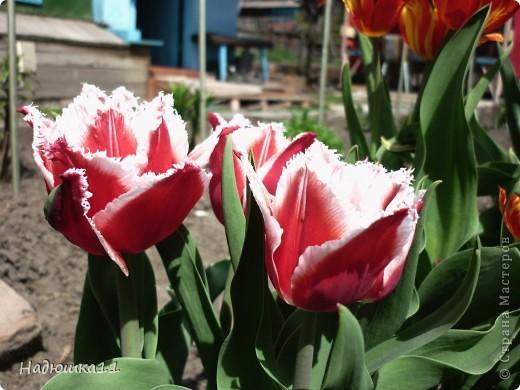 Моими любимыми цветами являются тюльпаны. До сих пор мой муж удивляется, почему мой выбор пал именно на них, мол обычные садовые цветы. Но посмотрите, Какие они шикарные! фото 1