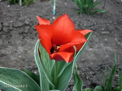 Моими любимыми цветами являются тюльпаны. До сих пор мой муж удивляется, почему мой выбор пал именно на них, мол обычные садовые цветы. Но посмотрите, Какие они шикарные! фото 2