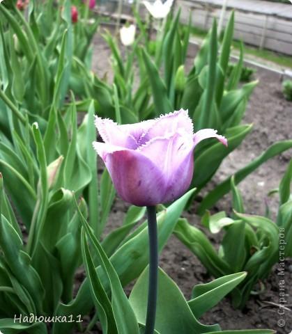 Моими любимыми цветами являются тюльпаны. До сих пор мой муж удивляется, почему мой выбор пал именно на них, мол обычные садовые цветы. Но посмотрите, Какие они шикарные! фото 3