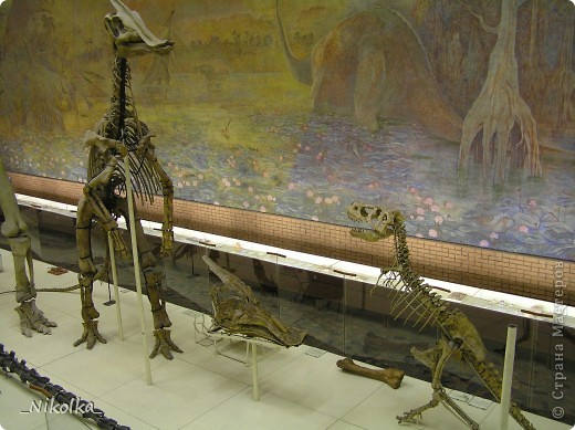 31 мая - день Палеонтологического музея. В связи с этим, хочу пригласить вас на небольшую виртуальную экскурсию. Палеонтологический музей по праву считается одним из крупнейших естественноисторических музеев мира. Экспозиция Музея посвящена эволюции органического мира Земли. История Института и Музея восходит к основанной в 1716 г. Петром I Кунсткамере, в которую поступали интересовавшие царя кости и зубы млекопитающих ледникового периода, а также другие диковинные находки. Ко времени основания Институт обладал уникальными музейными фондами. Первоначально экспозиция располагалась в Ленинграде в двух залах общей площадью 1500 кв. м и была открыта для свободного посещения. А в 30-х годах переехала из Ленинграда в Москву. В 1937 г. к XVII сессии Международного Геологического конгресса Палеонтологический музей был открыт. Он располагался на Большой Калужской улице (позднее переименованной в Ленинский проспект), в доме 16, в помещении манежа графа Орлова. Экспозиционная площадь первоначально составляла всего 700 кв. м. Тем не менее, свое место в Музее нашли многие замечательные палеонтологические объекты – сборы разных поколений отечественных палеонтологов, проводившиеся как на территории России, так и за ее пределами.  В годы Великой Отечественной войны Музей был закрыт, а значительная часть его коллекций отправлена в Алма-Ату. Сразу после возвращения из эвакуации, сотрудники приступили к восстановлению экспозиции. В 1944 г. Музей вновь распахнул свои двери для широкой публики. Тогда же Институт возглавил Ю.А.Орлов. Благодаря проведению успешных полевых работ и раскопок палеонтологические коллекции беспрестанно пополнялись. Для новых интересных находок все сложнее было найти место в экспозиции, а тесное помещение стало практически непригодным для музейной работы. В 1954 г. Музей пришлось закрыть. фото 21