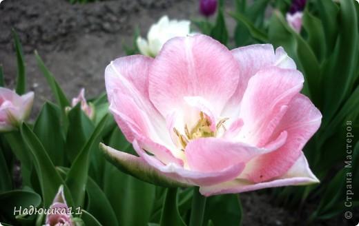 Моими любимыми цветами являются тюльпаны. До сих пор мой муж удивляется, почему мой выбор пал именно на них, мол обычные садовые цветы. Но посмотрите, Какие они шикарные! фото 5