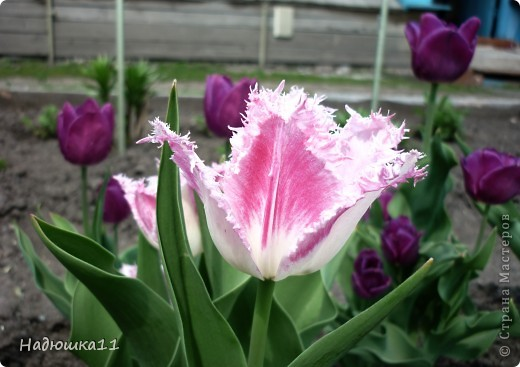 Моими любимыми цветами являются тюльпаны. До сих пор мой муж удивляется, почему мой выбор пал именно на них, мол обычные садовые цветы. Но посмотрите, Какие они шикарные! фото 4