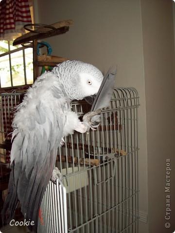 Наш попугай / Африканский серый/ фото 10