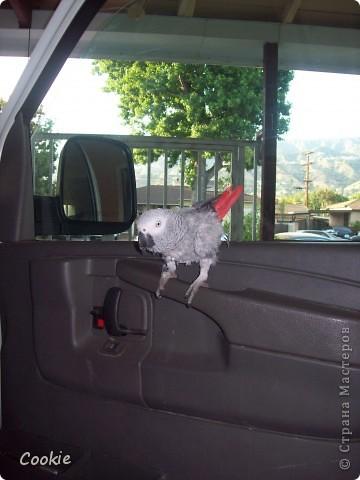 Наш попугай / Африканский серый/ фото 11
