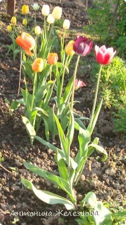 Вот такой красавец распустился у меня снова.  А была такая история: посадила я новую луковицу, весной распустился цветок, сфоткала я его, прихожу на другой день, а на месте цветка - ямка. Я, конечно, пожалела, но сильно не стала расстраиваться. Оказывается детка осталась и вот в этом году мне такой подарок!!! фото 28