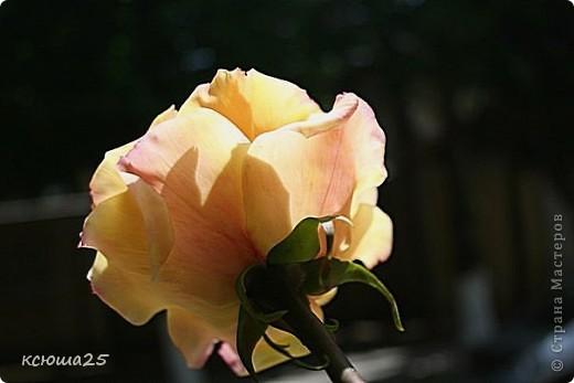 Розы в полный рост)) 70 см (лепка глина) фото 1