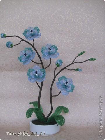 орхидея Лагуна фото 1