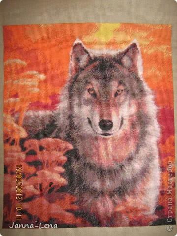 Волк на закате.