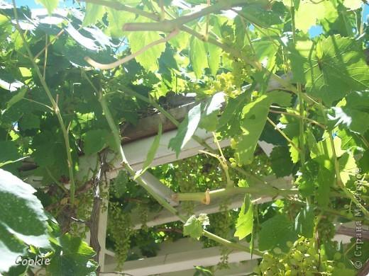 Случайно обнаружили гнездо в винограднике. Птинец уже довольно большой. фото 1