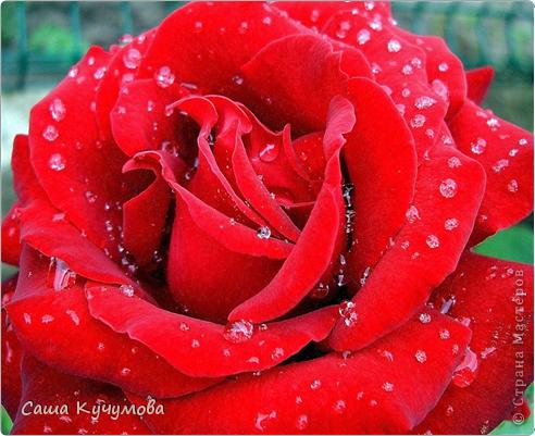 Выберите цвета вашей розы Красная фото 1