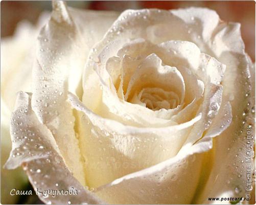 Выберите цвета вашей розы Красная фото 4