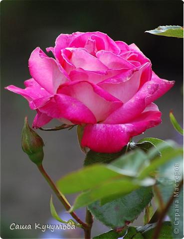 Выберите цвета вашей розы Красная фото 5