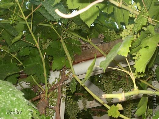 Случайно обнаружили гнездо в винограднике. Птинец уже довольно большой. фото 2