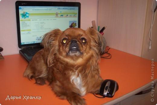 Это моя любимая собачка Чита! Ее порода японский хин. Я расскажу о ней поподробней. фото 2
