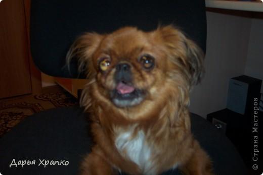 Это моя любимая собачка Чита! Ее порода японский хин. Я расскажу о ней поподробней. фото 5